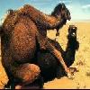 Camel sexe
